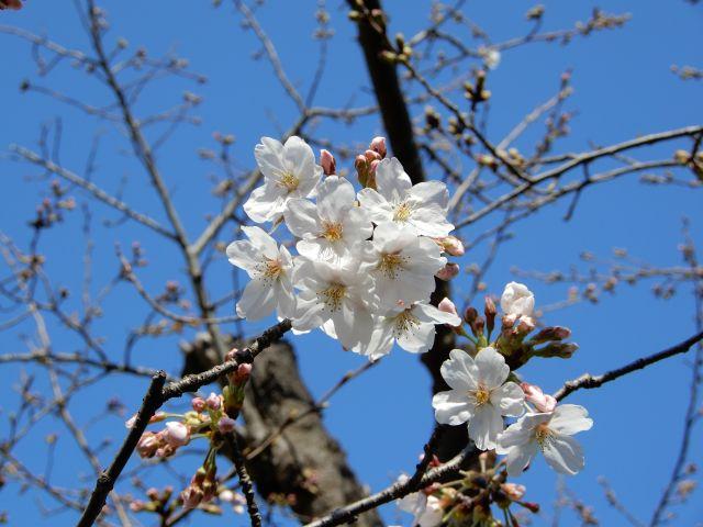 20180325桜.jpg