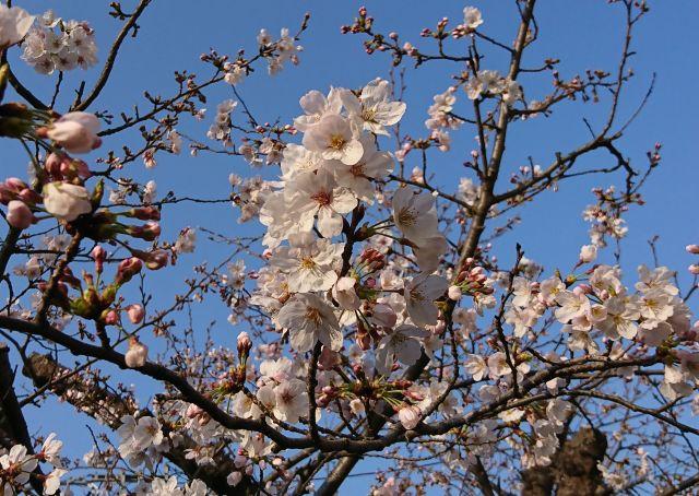 20180328桜.jpg