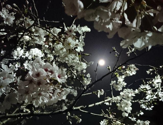 20180329桜.jpg