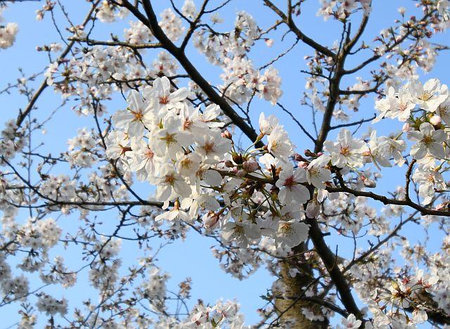 20180330桜2.jpg