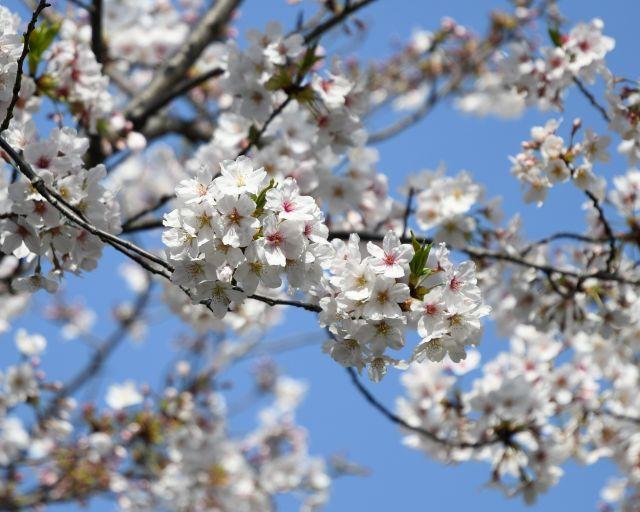 20180401桜2.jpg