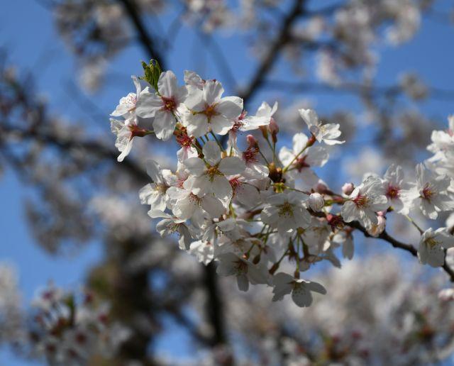 20180401桜3.jpg