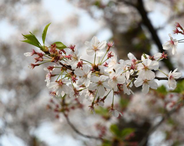 20180403桜1.jpg