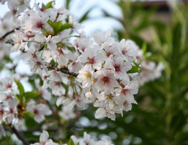 20180403桜2.jpg