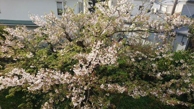 20180406桜1.jpg