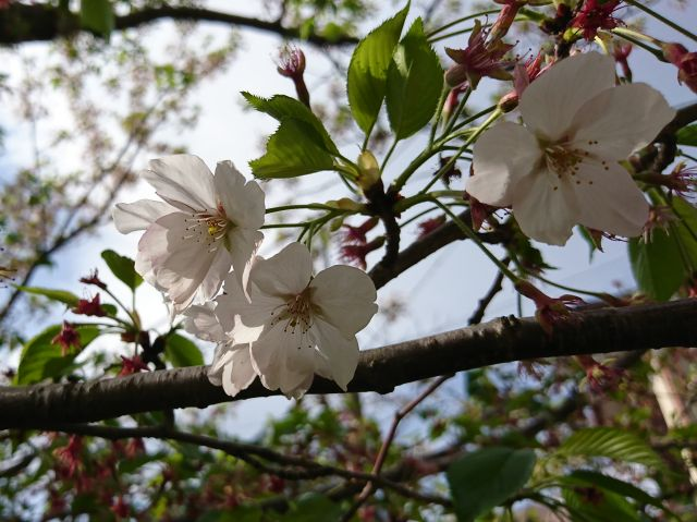 20180407桜2.jpg